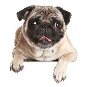 Pug dog on white banner